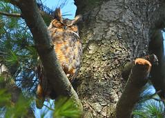 DSC_1107_edit (Hanzy2012) Tags: nikon d500 afsnikkor500mmf4difedii toronto ontario canada wildlife bird teleconverter tc14eii greathornedowl bubovirginianus owl