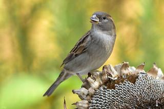 DSC 3016 Spatz - Sparrow