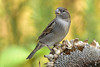 DSC 3016 Spatz - Sparrow (Charli 49) Tags: nikon naturfotografie tier animal vogel bird sonnenblume sperling sparrow d7200