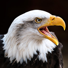 Cheyenne (Explored) (hehaden) Tags: eagle baldeagle haliaeetusleucocephalus head captive female hawkconservancytrust hampshire square sel70200g