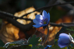 Sunpower (Levi c24) Tags: blooming flower floral petal blossom delicate sun sunray light macro hepatica nobilis