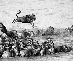 Wildebeest migration - Masaï Mara - Kenya (lotusblancphotography) Tags: nature wildlife africa afrique kenya masaïmara migration river rivière animal gnous wildebeest water eau monochrome bw
