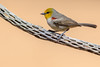 Verdin (gilamonster8) Tags: yellow verdin bird animal cactus wood cholla bokeh beyondbokeh orange canon eos ef400mm56l explore explored arizona wing white sky stick eyeball desert common color flight view tucson tail talons gray beak ngc usa unitedstates o 5d mark iv