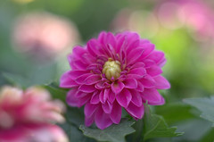 Perfect out the Camera (TimHarris4096 Dazed and Confused) Tags: yashicayashinondx50mmf2 pentaxk5iis purple pink red green boerne bokeh flower flowers m42 macro macrotubes sanantonio texas