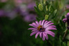 634A5318.jpg (christooley1) Tags: bee garden flowers bug purple green canon 5d mkiv wide angle san diego california nature pollen working nifty fifty 18 50mm flower plant lea