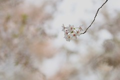 "She whispered to me gently "" Goodbye till next spring, "" (keiko*has) Tags: 7dwf friday flora cherryblossom"