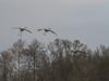 IMGPJ32782_Fk - Jackson County Indiana - Migratory Birds - Ewing Bottoms - Sandhill Cranes (David L. Black) Tags: olympusomdem1mkii olympus300f4014xtc birds sandhillcranes jacksoncountyindiana