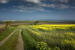 bright yellow field (kapper22) Tags: