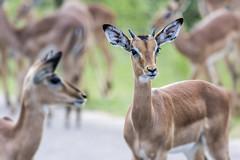 Impala (Sheldrickfalls) Tags: impala rooibok impalaherd krugernationalpark kruger krugerpark mpumalanga southafrica