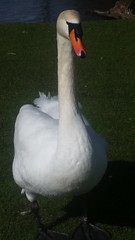 20180320_132628 (The Unofficial Photographer (CFB)) Tags: internationalhappinessday deardiarymar2018 swan swans featheredfriends