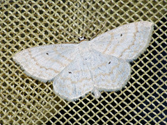 Scopula immutata - Lesser cream wave - Малая пяденица постоянная (Cossus) Tags: geometridae scopula sterrhinae пестово пяденица 2009