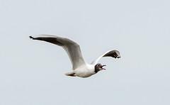 Minsmere BH Gull flying