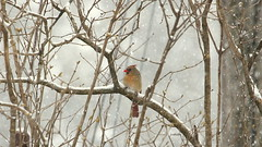 What happened to Spring? (Judecat (Looking for Spring!)) Tags: nature wildlife pennsylvaniawildlife femalenortherncardinal bird snow snowstorm snowing