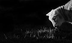 Spring Lamb, Brigham, Cumbria, UK (24/3/18) (gizmo-the-bandit) Tags: lamb sheep spring farm livestock young nature uk wildlife cumbria animal bw black white lowkey low key