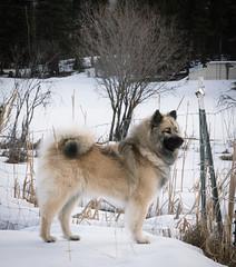 untitled (116 of 527) (neumeyerjudi) Tags: eurasier eurasiers edelweisseurasiers dog dogs dogbreed dogdogspuppuppypuppiespupseurasiereurasiersedelweisseurasierspacificcoastkennelnatureanimalpetpetsfamilyelementseurasiers breeding eurasierdogsnoweurasiersdogswinteranimalnatureweatherjoyplayrun snow winter photography pacificcoastkennels