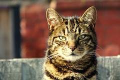 DSCF6468 (Moldovia) Tags: fujifilmfinepixhs50exr cat feline pet animal ears eyes nose whiskers catscatscats
