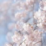 Sakura 2018 thumbnail