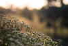 Everglow (Soufiane Yahyaoui) Tags: bokeh dof nature mood blurry flowers sunset