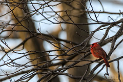 Reflecting (jp254958) Tags: sigma a7rii sony malvernpa pa pennsylvania malvern chestercounty birding northerncardinal cardinal birds bird