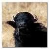 búfalo (vitofonte) Tags: búfalo buffalo lagunacañizar villarquemado teruel naturaleza nature natura natureza vitofonte