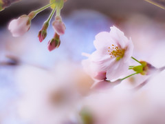waited for you (Tomo M) Tags: nature cherryblossoms sakura someiyoshino spring bokeh tree petal tokyo dreamy soft pastel lifeisarainbow pink rosa