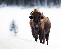 Bison (Markp33) Tags: