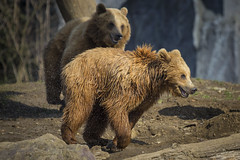 Kamtschatkarbären (DeanB Photography) Tags: erlebnis zoomgelsenkirchen zoom gelsenkirchen zoo tiere tier tierwelt animal animals canon tierfotograf