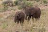 African Elephants (robsall) Tags: 2016 70200 7d 7dmarki africa africatourism africawildlifephotography africanelephant africanwildlife canon7020028 canon70200mm canon70200mmf28isiiusm canon7d canoneos canoneos7d elephant elephants family loxodontaafricana mammal robsallaeiral robsalldrone robsalldronephotography robsallphotography robsallwildlifephotography tanzania tanzania2016 vacation manyararegion