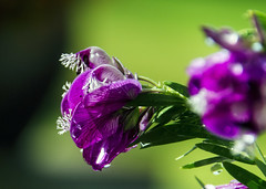 Spring Showers and Flowers (Steve Corey) Tags: flowers floweringplants flowerbokeh springflowers magenta macro pretty green outdoors