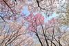 IMG_5800 (digitalbear) Tags: canon eos6d sigma 14mm f18 dg art shinjku gyoen sakura cherry blossom blooming hanami tokyo japan