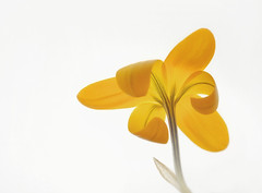 Crocus (Funchye) Tags: lightpad flower blomst nikon d610 105mm crocus krokus
