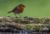 A Garden Session (budgiepaulbird) Tags: canon7dmark2 cambridgeshire nestsystematictripod nestgimbalhead 100400mark2 hide