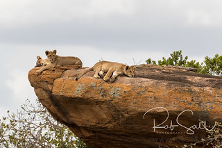 Lion Cubs Rest in the Sun with a View of the Area