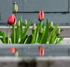 Red Reflection,s. (Omygodtom) Tags: reflections flickr flower tulip green street flora zip zoo zeiss nikon70300mmvrlens d7100 dof abstract art real
