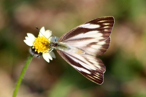 IMG_2189/Thailand/Koh Samui Island/Appias Olferna Olferna/femelle/ Recto
