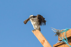 Osprey shakes it off