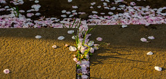 #90 Nearing the end (tokyobogue) Tags: japan tokyo tennoji tennojitemple shrine nikon nikond7100 d7100 sigma sigma1750mmexdcoshsm sakura cherryblossom cherryblossoms blossoms flowers yanaka yanakacemetery path trees dusk sunset 365project