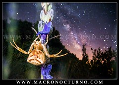 Thomisus onustus and Milky Way (Macronocturno) Tags: thomisus onustus milky way galaxy thomisidae araña cangrejo crab spider vialactea via lactea nightshot nightsky night noche macro nocturna macronocturno longexposure larga exposicion