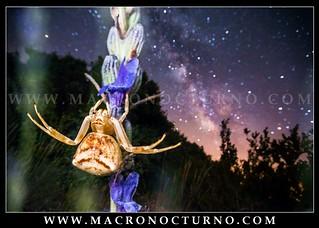 Thomisus onustus and Milky Way
