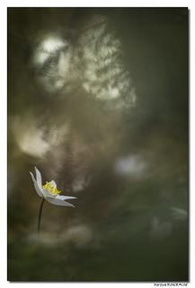 Anémone des Bois - Anemone Nemorosa #7