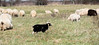 das schwarze Schaf der Familie - The black sheep of the family (hwl.weber) Tags: nikond750 fx scharfe herde wiese grasen outdoor