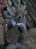 Everybody's a Comedian (John Neziol) Tags: jrneziolphotography portrait animal animalphotography animalantics animaladdiction greysquirrel squirrel nikon wildlife mammal closeup cute brantford beautiful bokeh nikondslr nature nikoncamera nikond80 naturallight outdoor fur furry funny