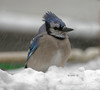 Blue Jay (Diane G. Zooms---Mostly Off) Tags: bluejay jays bluebirds wildbirds winterbirds winterbluejay longislandbirds dianegiurcophotography alittlebeauty fantasticnature