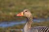 Greylag goose portrait (victorjohnson) Tags: greylag goose portrait grågås gås porträtt