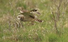 1S9A9258 (saundersfay) Tags: shortearedowl feathers eyes hare grass talons beak bird