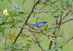 Northern Parula (in Explore) (Gatorgirl51) Tags: bird northern parula