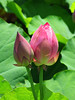 pink water lilies (picturesque-y) Tags: spring waterlilies red flower green