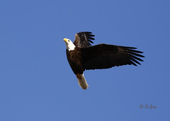 Sharp Left (Swift Wings) Tags: eagle baldeagle raptor birdofprey