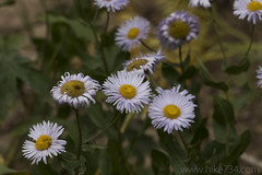 "Showy Fleabane • <a style=""font-size:0.8em;"" href=""http://www.flickr.com/photos/63501323@N07/41296636531/"" target=""_blank"">View on Flickr</a>"