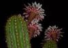 Fireworks (oybay©) Tags: suncitywest arizona unique unusual nightbloom night cactusflower cactus flower flora fiori blumen argentinegiant macro upclose color colors white whiteflower light greatshot coolshot cool indoor black background